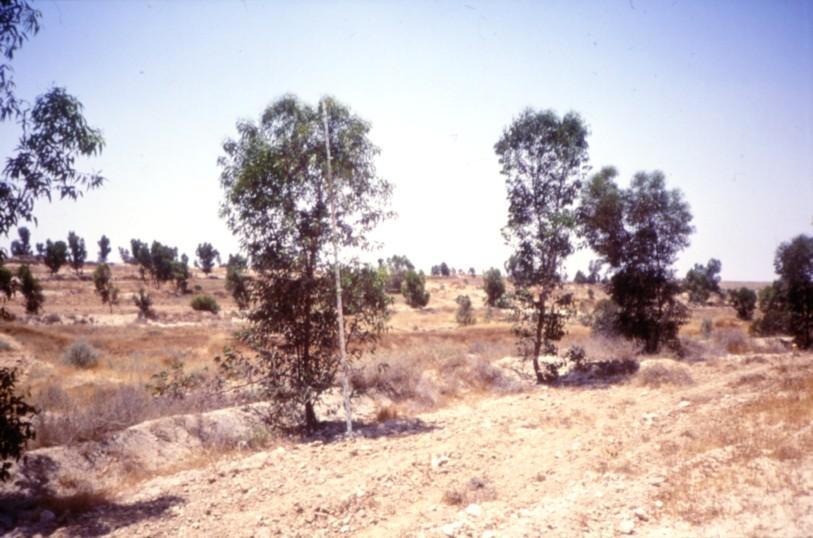 Eucalyptus Negev